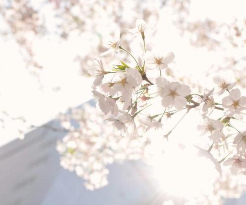 nat85_toukyouhinisukerusakura_tp_v4